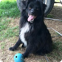 Spitz (Unknown Type, Medium) Dog for adoption in Bloomingdale, Indiana - Bear