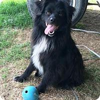 Adopt A Pet :: Bear - Bloomingdale, IN