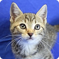 Domestic Shorthair Kitten for adoption in Winston-Salem, North Carolina - Bree