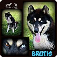 Adopt A Pet :: Brutis - Sullivan, IN
