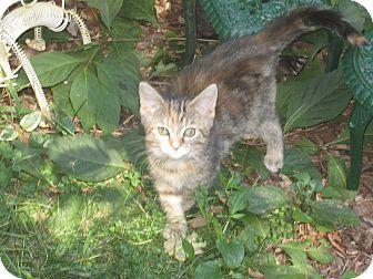 Domestic Mediumhair Kitten for adoption in Newtown, Connecticut - Bonnie