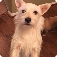 Norwich Terrier/Australian Terrier Mix Dog for adoption in Westminster, Maryland - Trav
