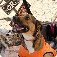 German Shepherd Dog Mix Dog for adoption in Phoenix, Arizona - LIZZY