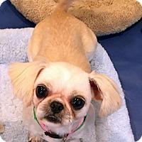 Adopt A Pet :: Prissy - Atlanta, GA