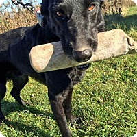 Labrador Retriever Mix Dog for adoption in Park Falls, Wisconsin - Sid
