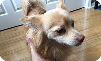 Pomeranian Dog for adoption in Jacksonville, Florida - Bella/Pomeranian