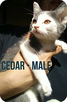 Domestic Shorthair Kitten for adoption in Glendale, Arizona - CEDAR