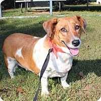 Basset Hound/Beagle Mix Dog for adoption in Norfolk, Virginia - PATCHES