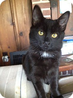 Domestic Mediumhair Kitten for adoption in Orinda, California - Jewel