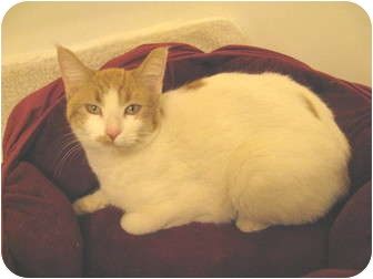 Domestic Shorthair Kitten for adoption in Mesa, Arizona - Kowie