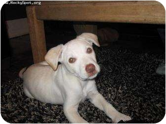 Labrador Retriever/American Pit Bull Terrier Mix Puppy for adoption in Newcastle, Oklahoma - Poky