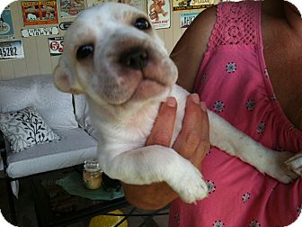 Chihuahua Mix Puppy for adoption in Phoenix, Arizona - Jackson