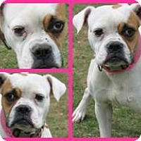 Boxer Dog for adoption in Harrison, New York - TAFFY