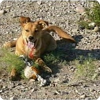 Golden Retriever/Shepherd (Unknown Type) Mix Dog for adoption in Thatcher, Arizona - Shasta retriever mix