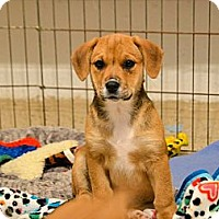 Adopt A Pet :: Foxy - eastlake, OH