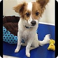 Adopt A Pet :: Chase - Rockwall, TX