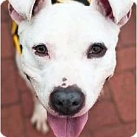 Adopt A Pet :: Becky - Reisterstown, MD
