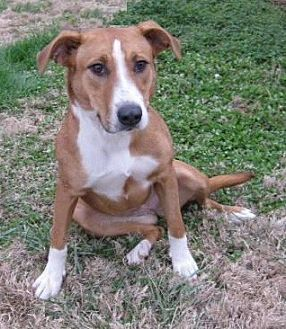 Hound (Unknown Type)/Foxhound Mix Dog for adoption in Huntsville, Alabama - Lucy