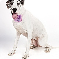 Adopt A Pet :: Layla - Mesa, AZ