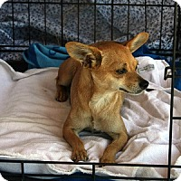 Chihuahua Dog for adoption in Pearblossom, California - Teena