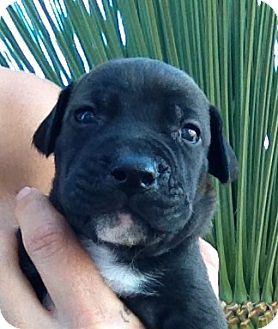 Labrador Retriever/German Shepherd Dog Mix Puppy for adoption in Long Beach, California - Chef