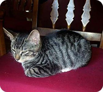 Domestic Shorthair Kitten for adoption in Cincinnati, Ohio - zz 'Mitten's Kitten, Tony'  courtesy post