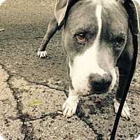 American Staffordshire Terrier Mix Dog for adoption in nashville, Tennessee - Rex
