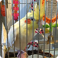 Adopt A Pet :: Pretty Birdy - Punta Gorda, FL