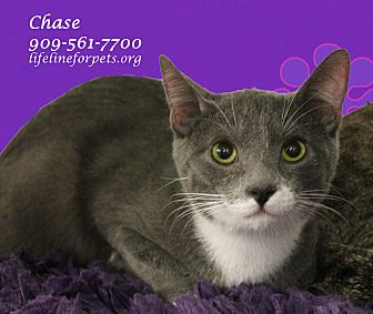 Domestic Shorthair Cat for adoption in Monrovia, California - Charming CHASE