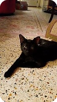 Domestic Shorthair Kitten for adoption in Tampa, Florida - Willie