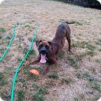 Adopt A Pet :: Yoda - Woodinville, WA