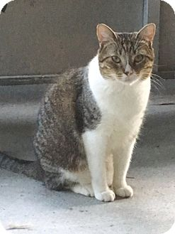 Domestic Shorthair Cat for adoption in Houston, Texas - Ruby