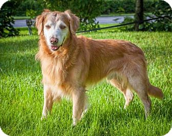 Golden Retriever Dog for adoption in Naples, Florida - Ralf 710