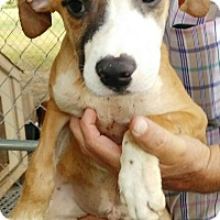 Catahoula Leopard Dog/American Pit Bull Terrier Mix Puppy for adoption in Southington, Connecticut - Comanche (adoption pending)