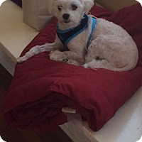 Adopt A Pet :: Colby - Mount Kisco, NY