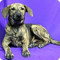 Adopt A Pet :: SAMPSON - Westminster, CO