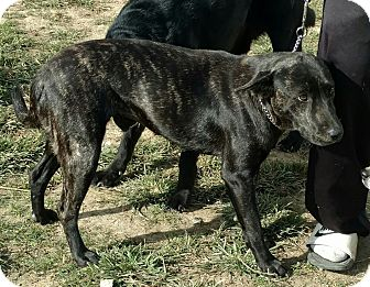 German Shepherd Dog/American Staffordshire Terrier Mix Dog for adoption in Hillsboro, Ohio - Bella