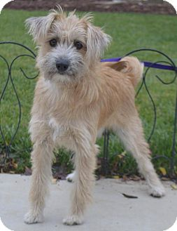 Yorkie, Yorkshire Terrier/Wheaten Terrier Mix Dog for adoption in Corona, California - Cupcake