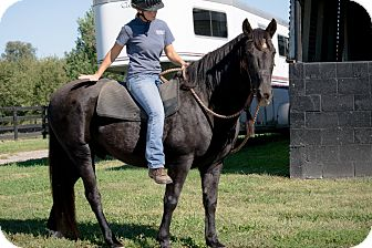 Tennessee Walking Horse Mix for adoption in Nicholasville, Kentucky - Smokey
