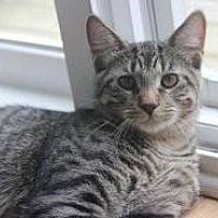 Domestic Shorthair Cat for adoption in Rochester, Michigan - Malachi
