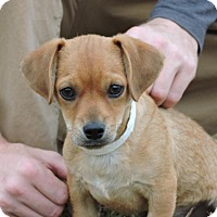 Adopt A Pet :: Bentley - Berkeley Heights, NJ