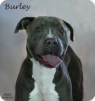 American Pit Bull Terrier/American Staffordshire Terrier Mix Dog for adoption in Santa Maria, California - Burley