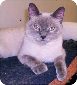 Siamese Cat for adoption in Chilhowie, Virginia - Buddy