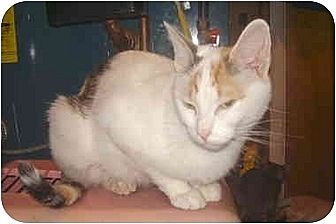Domestic Shorthair Cat for adoption in Dale City, Virginia - Iris
