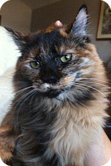Calico Cat for adoption in Winchester, California - Cutie Pie