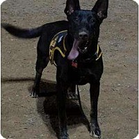 German Shepherd Dog Dog for adoption in Costa Mesa, California - Anika
