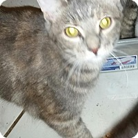 Domestic Shorthair Cat for adoption in Orlando-Kissimmee, Florida - Maddie