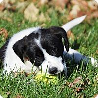 Adopt A Pet :: Boniato - Pleasant Plain, OH