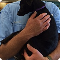 Chihuahua/Terrier (Unknown Type, Small) Mix Dog for adoption in Cat Spring, Texas - Jazzy