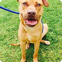 Adopt A Pet :: Poseidon - Atlanta, GA